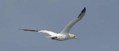Gannet at the Bass Rock (Photo Hillary Sillitto)
